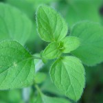 This herb grows wild in Tuscany and will grow wild in your backyard too.