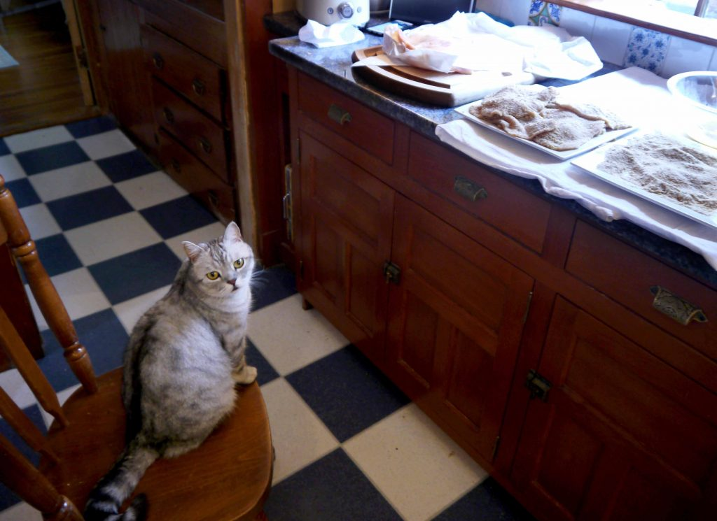 Cat waits patiently near chicken cutlets.