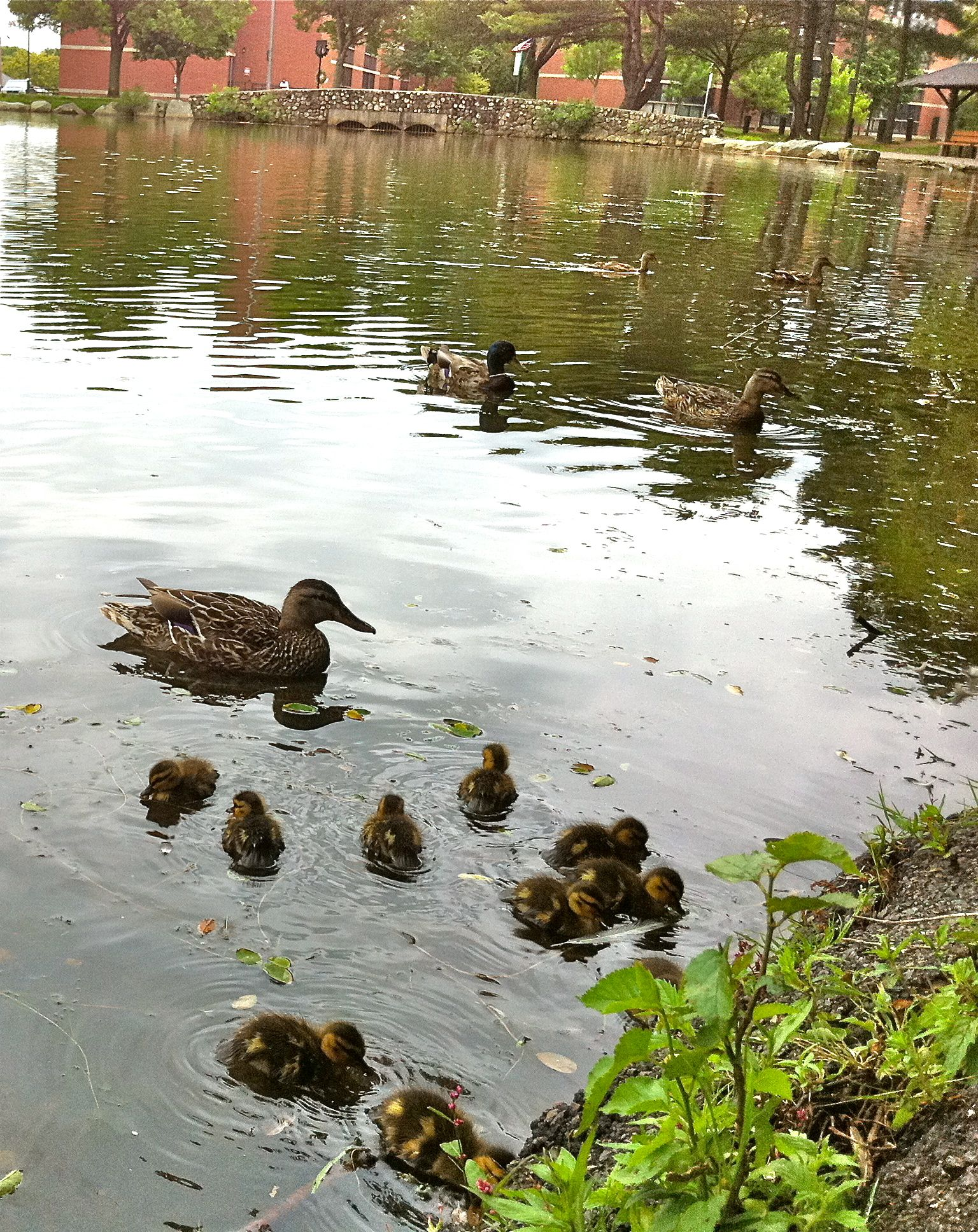 Ten baby ducks were swimming in Fellsmere Pond in Malden.