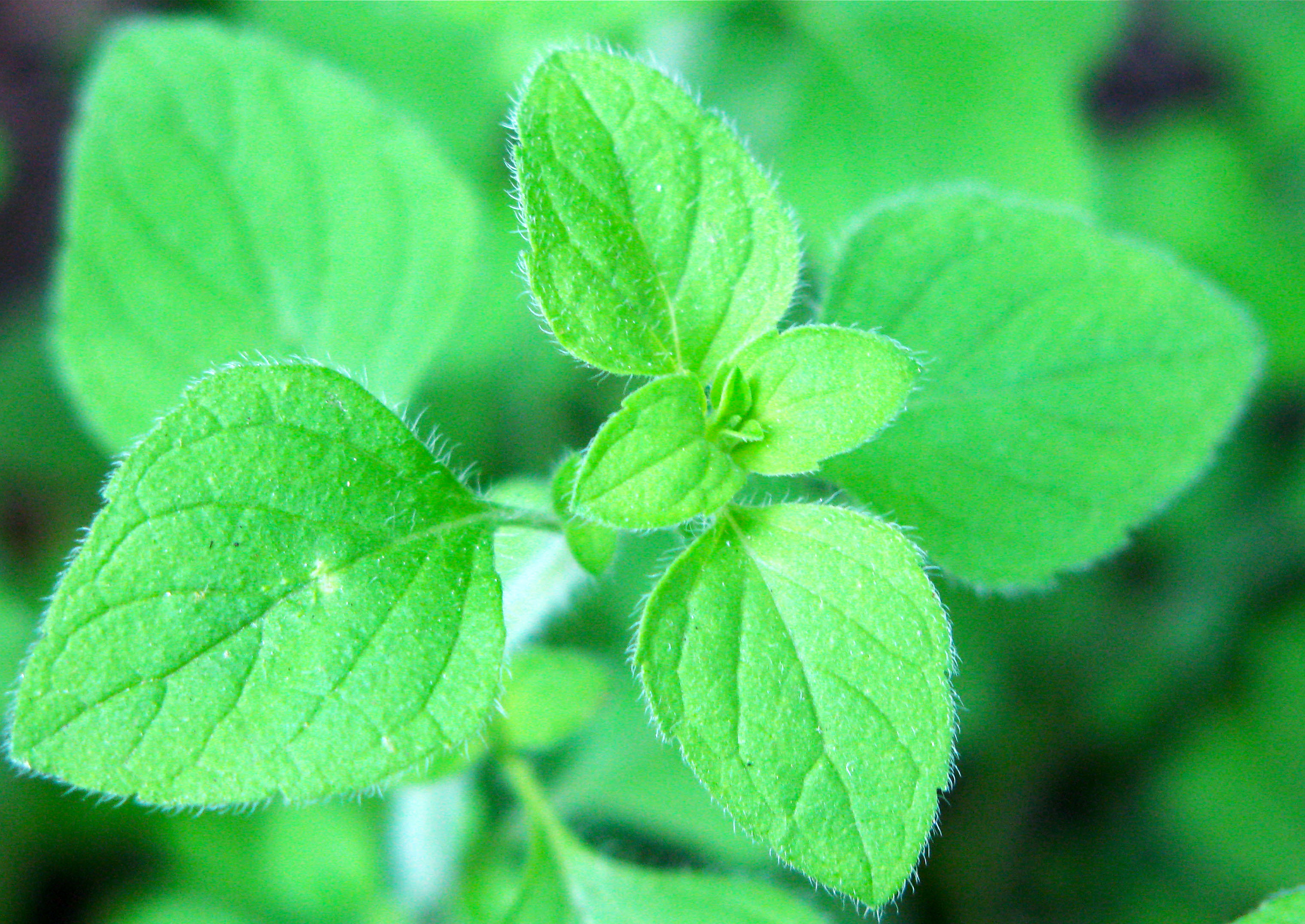 The Best Italian Herb You Never Heard Of