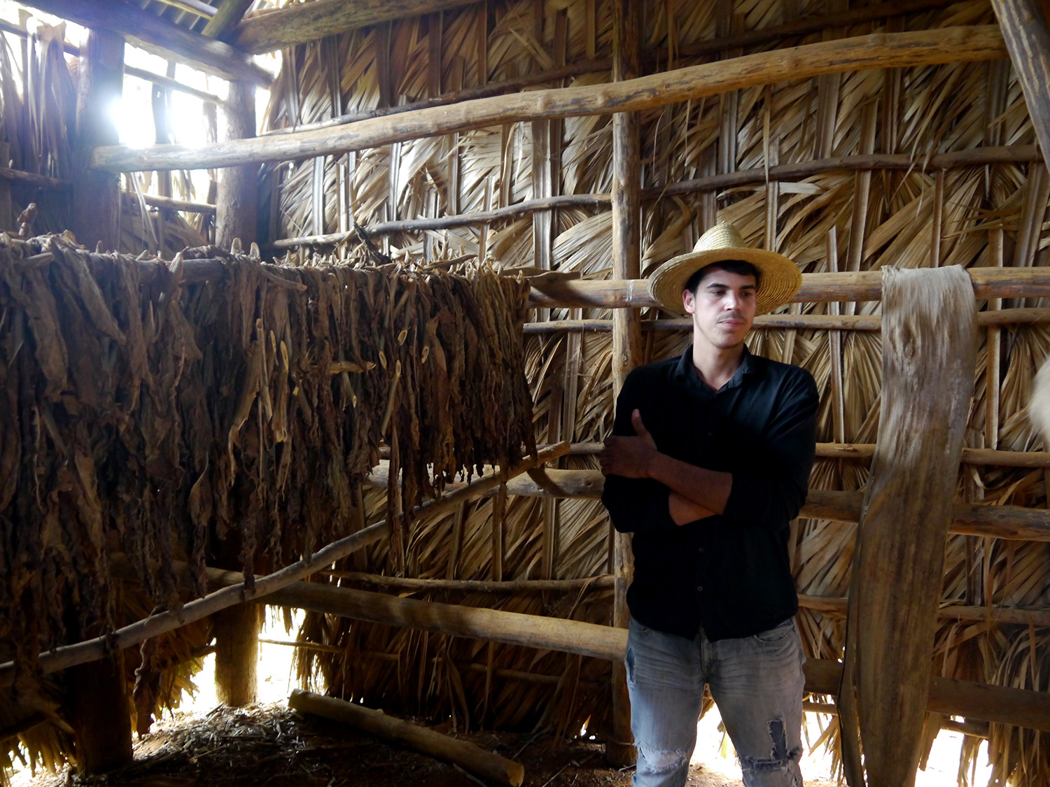 Farmer stands next to some tobacco leaves drying inside a barn.